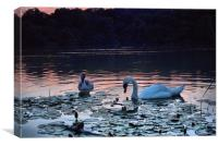 Swan and Cygnet, Canvas Print