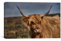 Highland Cattle 1                              , Canvas Print
