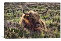 Highland cattle 2                              , Canvas Print