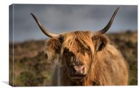 Highland cattle 4                            , Canvas Print