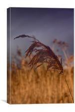 reed                              , Canvas Print