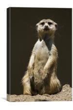 Posing Meerkat, Canvas Print