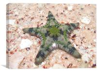 Monkey Mia Sea Star, Canvas Print