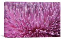Canadian Thistle Blossom, Canvas Print
