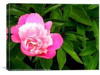Pink Peonies, Canvas Print
