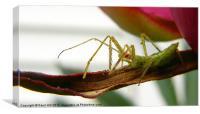 Assassin Bug Deadly Proboscis, Canvas Print