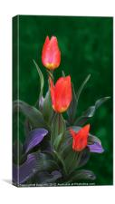 Three Red and Yellow Tulips, Canvas Print