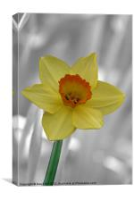 Yellow Daffodil on Silver, Canvas Print