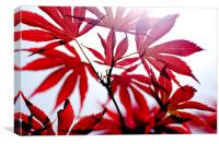 Acer#1, Canvas Print