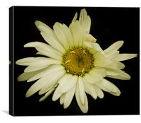 Daisy Blow., Canvas Print