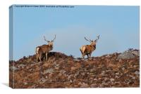 Pair of Stags on the hill top