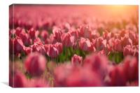 Red tulips sunset, Canvas Print