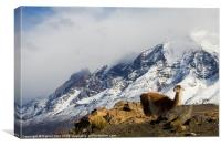 Guanaco in Torres del Paine, Canvas Print