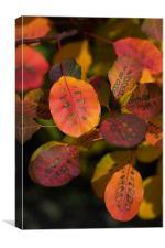 Autumn Cotinus, Canvas Print