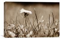 A Lonely Daffodil in a field of grass, Canvas Print