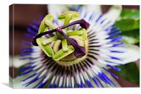 Passion Flower Macro, Canvas Print