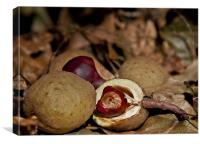 Autumn Conkers on leaves, Canvas Print