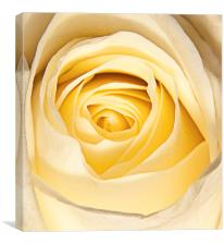 Delicate white rose petals, Canvas Print
