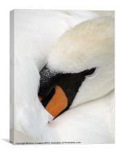 Sleeping Swan, Canvas Print