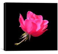 Sunlit Pink Rose, Canvas Print