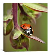 Seven spotted ladybird 3, Canvas Print