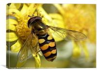 Hover fly resting, Canvas Print