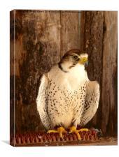 Hawk Eye, Canvas Print