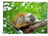 Sleeping Squirrel Monkey, Canvas Print