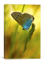 Appuane Mountain Butterfly, Canvas Print