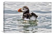 Young Puffin on Firth of Forth, Canvas Print