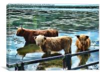 Highland Cattle Cooling