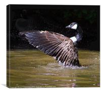 canadian goose., Canvas Print