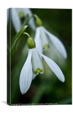 Snowdrops in spring, Canvas Print