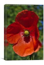 Single Red Poppy, Canvas Print