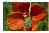 Poppy and Bud, Canvas Print
