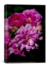 Miniature pink double rose, Canvas Print