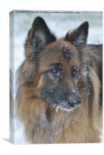 German Shepherd Dog in the snow, Canvas Print