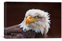 Bald Eagle , Canvas Print
