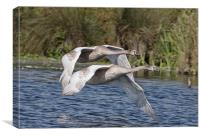 Swan Flight, Canvas Print
