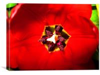 Red Tulip, Canvas Print