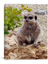 Meerkat on the Look-out, Canvas Print