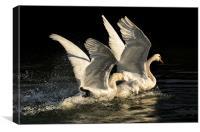 Fighting Cob Swans, Canvas Print