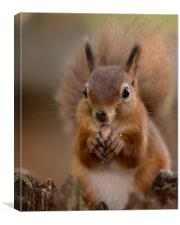 Red Squirrel Portrait, Canvas Print