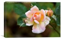 Pail Pink Roses, Canvas Print