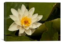 WET WATER LILY, Canvas Print