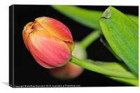 One Little Tulip, Canvas Print