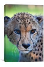 female cheetah, Canvas Print