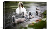 Baby Swans, Canvas Print