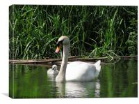 Swan and Sygnet, Canvas Print