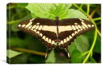 King Swallowtail, Canvas Print